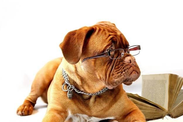 Bordeaux Dogge mit Brille ist G8 oder G9 egal