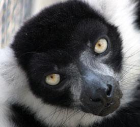 Lemur!