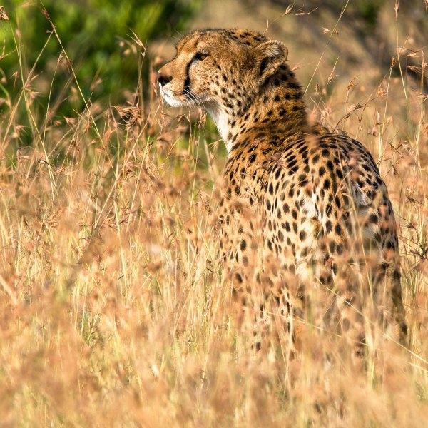 Safarifotografie, Gepard