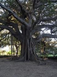 Sydney, Océanie, la terre promise de l'Océan indien. Arbre majestueux dans le Royal Botanic Gardens