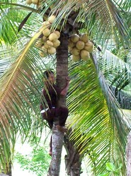 Bali plage : l'ouest, Negara, Medewi, Gilimanuk. Gaja Mina noix de coco