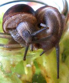 220px-Garden_snails_and_love_dart