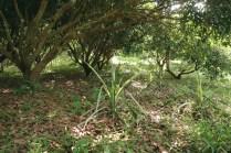 Système agroforestier, Longan et ananas
