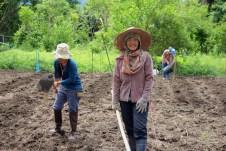 Plantation de baby corn bio