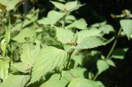 Tie Tau : une plante aromatique mangée cru ou en soupe, elle est également utilisée en infusion pour diminuer la température du corps lorsqu'il fait trop chaud