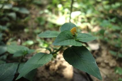 Cuc Ao Hoa Vang : Cette plantes très intéressante a deux utilisations. Ses feuilles sont très utilisées au Laos pour parfumer le porc et les aubergines tandis que ses fleurs sont bouillies pour faire des bains de bouche pétillants. Testé et approuvé !