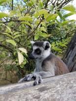 Maki Catta - Zoo de la boissiere du doré