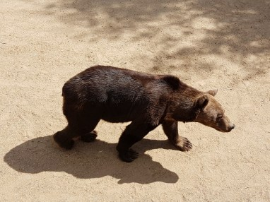 Ours brun - Zoo de la boissiere du doré