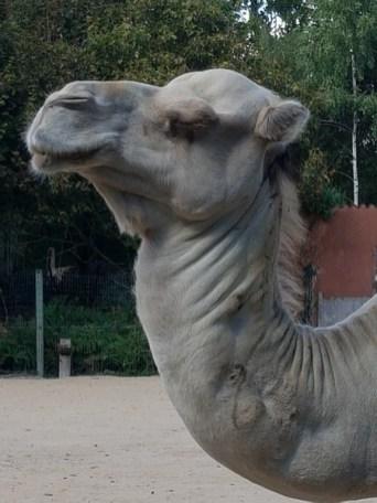 Dromadaire - Zoo de la boissiere du doré