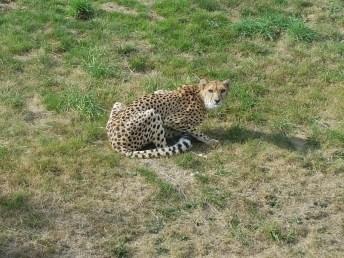 Guépard - Zoo de la boissiere du doré