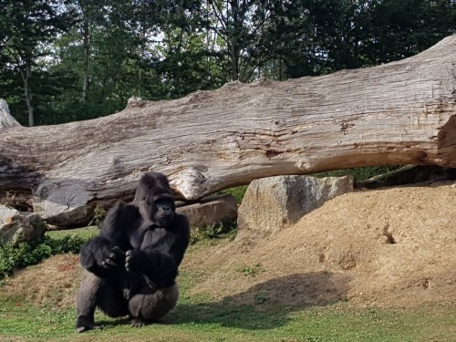 Gorilles - Zoo de la boissiere du doré