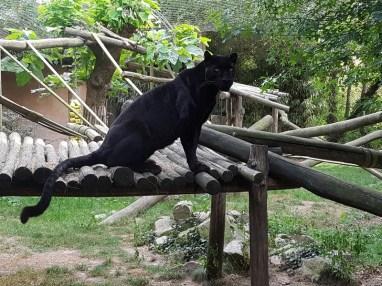 Panthère noire - Zoo de la boissiere du doré