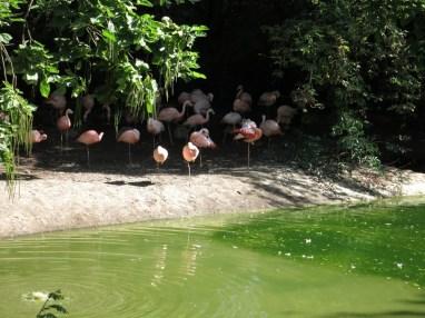 Flamands roses - Zoo de la boissiere du doré