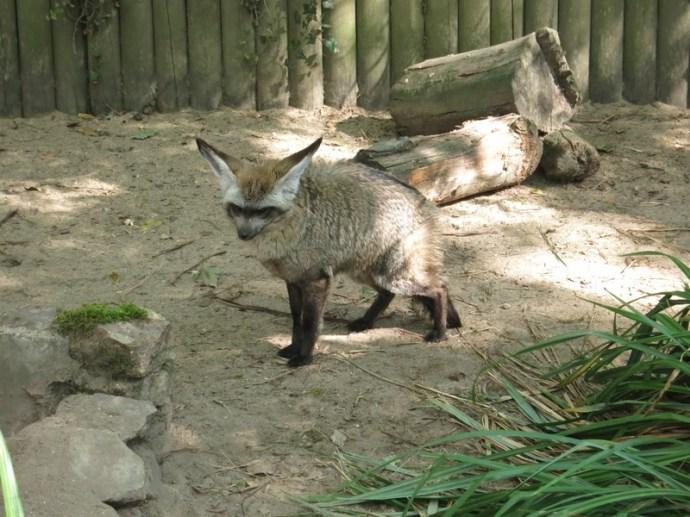 Otocyon - Zoo de la boissiere du doré