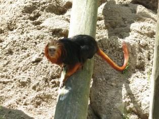 Tamarin lion à tête dorée - Zoo de la boissiere du doré