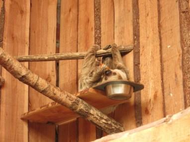 Paresseux - Zoo de la boissiere du doré