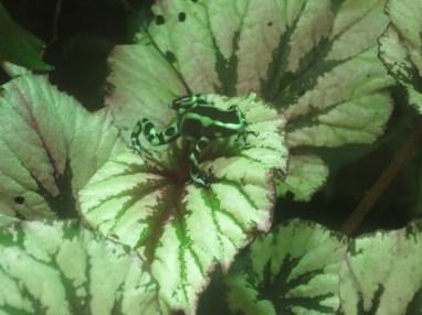 Dendrobate doré - Zoo de la boissiere du doré