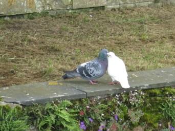 Pigeons amoureux au château du Plessis-Bourré