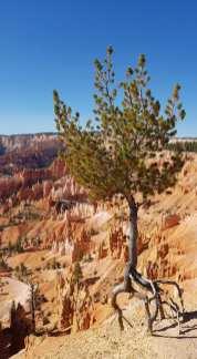 Un arbre qui marche à Bryce Canyon