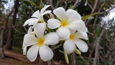 Fleur de frangipanier - Laos