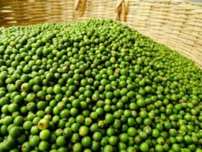le poivre de Kampot - La Plantation