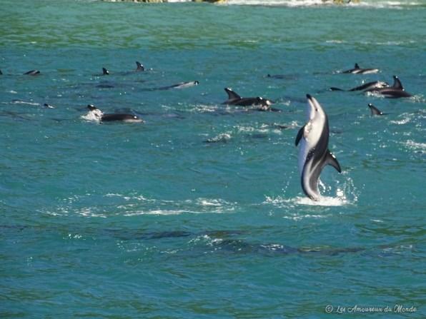 Dauphins à Kaikoura Nouvelle-Zélande