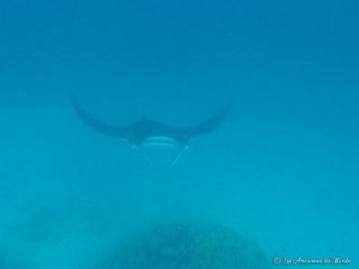 nager avec des raies manta à Maupiti