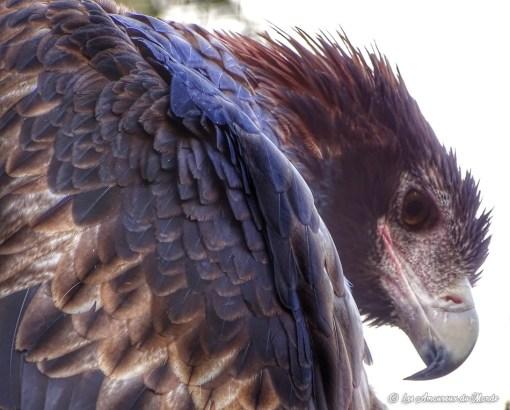 aigle au Gorge Wildlife park - Adelaïde - Australie