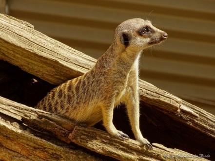 suricate au Gorge Wildlife park - Adelaïde - Australie