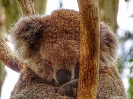 Koala au Gorge Wildlife park - Adelaïde - Australie
