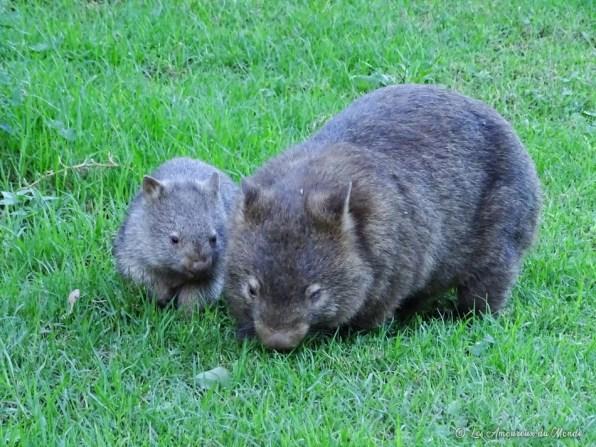 wombat - Australie