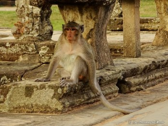 singe aux temples d'Angkor - Cambodge