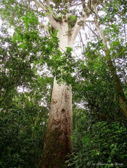 forêt de Kaori au Parc de la Rivière Bleue