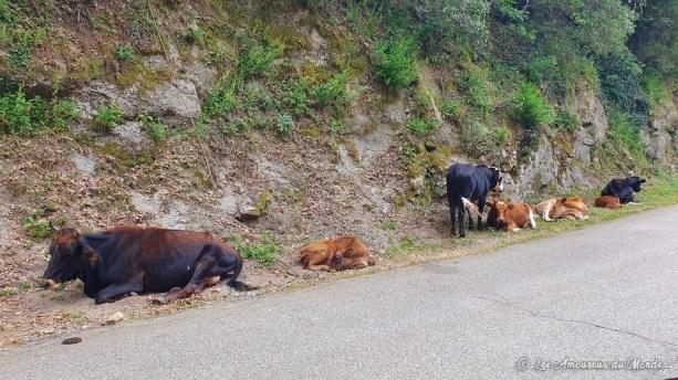 vaches sur la route en Corse