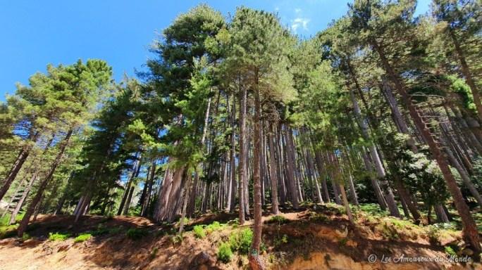 Forêt d'Aïtone en Corse