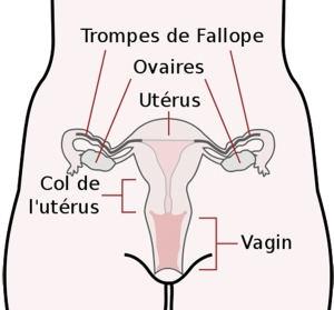 col_de_l_uterus