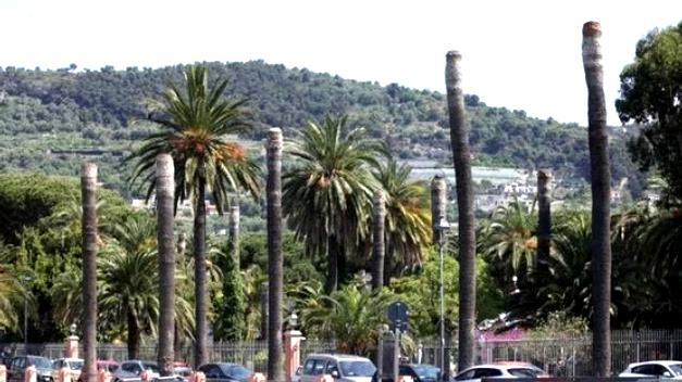 Bordighera palms