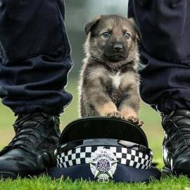 Police Dogs Photography