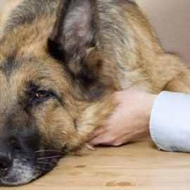 Coronavirus du chien : comment protéger mon animal et peut-il me contaminer ?
