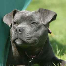 Sous l'effet de la drogue, un chien tue son proprio