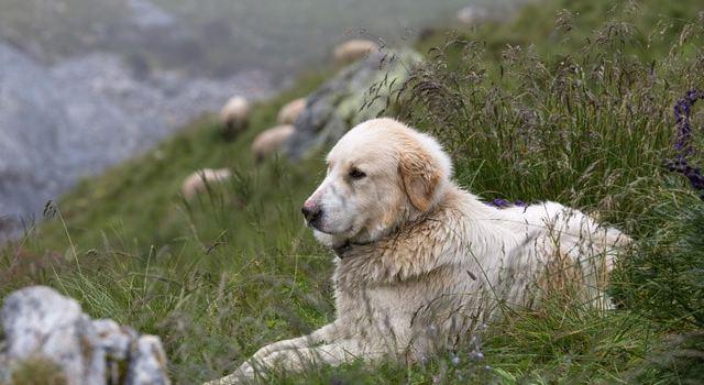 Les chiens de troupeaux essentiels contre les loups