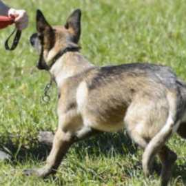 Voleur saisi à la cuisse par un chien policier