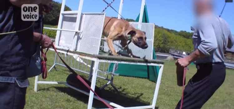 Des chiens «maltraités pour devenir méchants»
