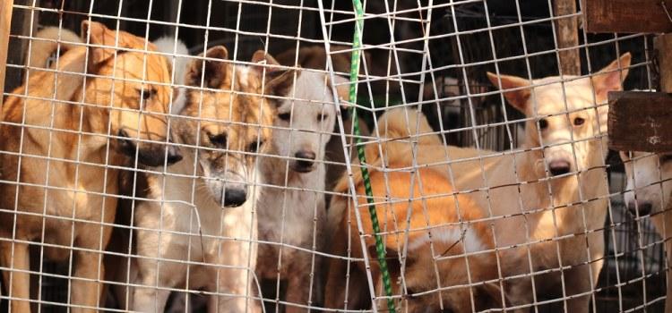 A Bali, 70'000 chiens sont tués et servis aux touristes tous les ans !