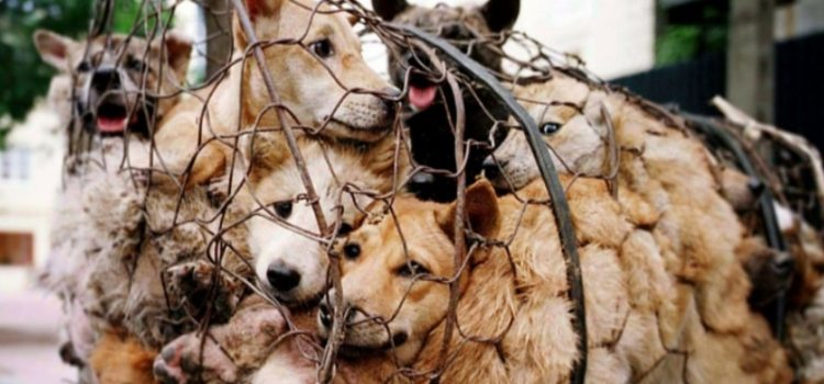 Festival de Yulin : 40 000 chiens seront encore massacrés et mangés cette année