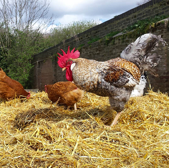 Hackney City Farm Chickens