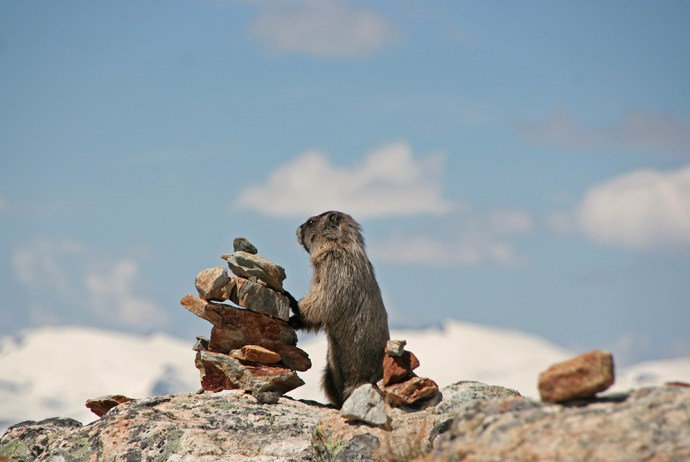 Murmeltier auf dem Whistler Mountain
