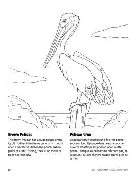 AAM-Brown-Pelican