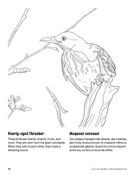 AAM-Pearly-Eyed-Thrasher