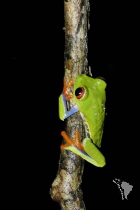 grenouille rio san juan nicaragua